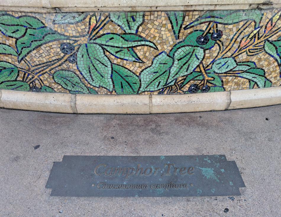 camphor tree mosaic